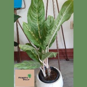 Aglaonema Key Lime (Chinese Evergreen var)
